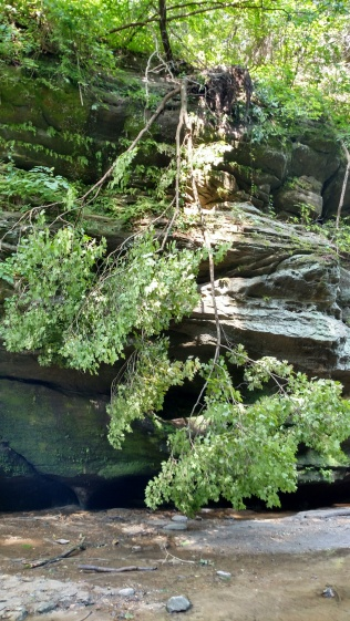 Tree growing upside down. There were several like this throughout the canyon!